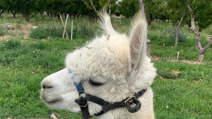 Literary Travel: Colorado Alpaca Farm